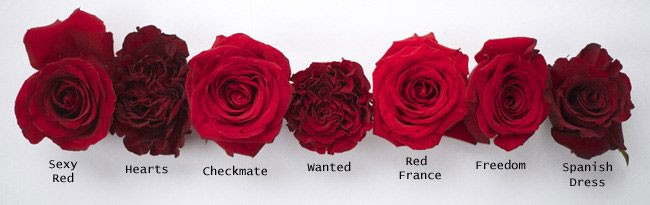 Сорт розы секси ред